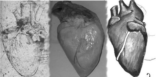 Da Vinci And The Heart Anatomical Exploration Through The Eyes Of