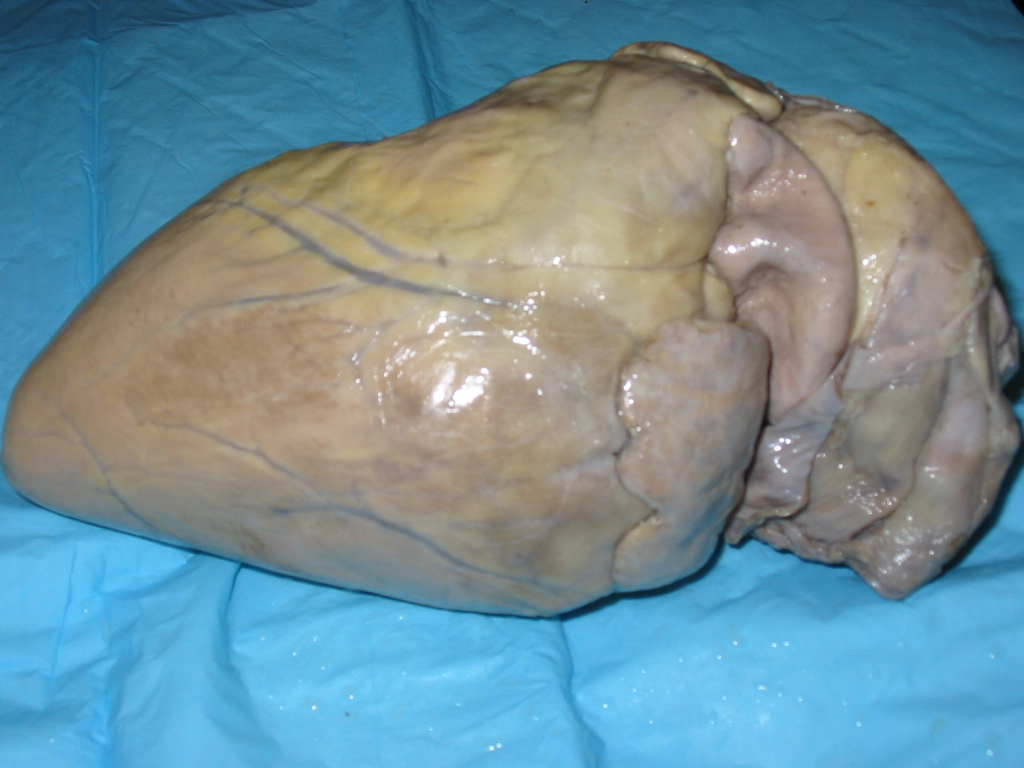 Da Vinci And The Heart  Anatomical Exploration Through The